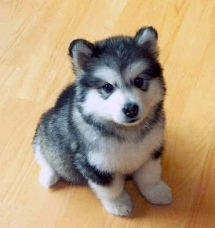 A Pomsky - Animals