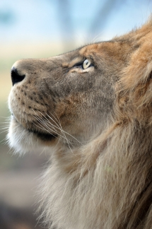 African Lion - Beautiful Animals