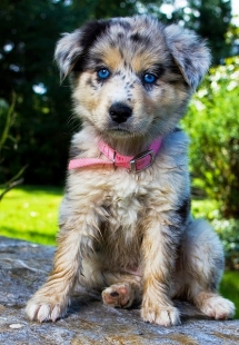 Australian Shepherd Pup - Adorable Dog Pics