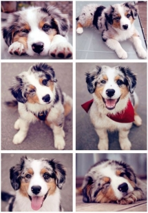 Australian Shepherd puppy - Adorable Dog Pics