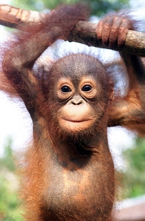 baby orangutan - Beautiful Animals