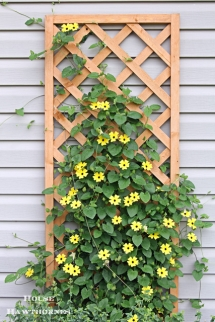 Back-Eyed Susan Vines - Gardens