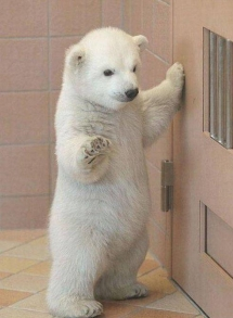 Beautiful baby polar bear - Beautiful Animals