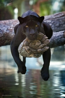 Black Panther - Beautiful Animals