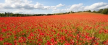 Blackstone Poppy Fields - Bewdley, Worcestershire, UK - Beautiful places
