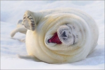 Laughing Seal - Beautiful Animals