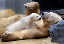 Polar bear cub with its mother - Beautiful Animals