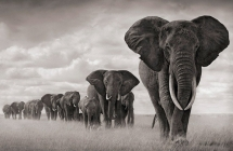 Herd of African elephants traveling [B&W photo] - Beautiful Animals