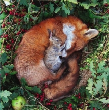 Rabbit resting on sleeping fox - Beautiful Animals