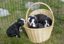 Boston Terrier puppies - Pets