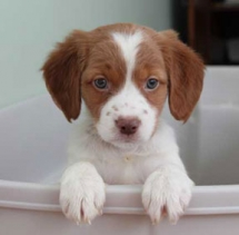 Brittany Spaniel - Adorable Dog Pics