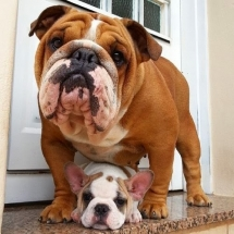 Bulldogs - Adorable Dog Pics