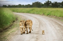 Cute lion cub walking down the road - Beautiful Animals