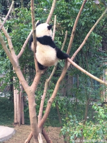 Do you want to climb the tree? I can teach you. - Panda