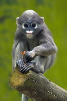 Dusky Leaf Monkey - Beautiful Animals
