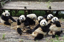Eating together is a nice thing - Panda