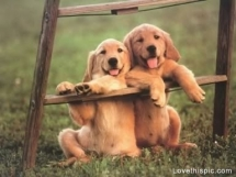Golden Retriever Puppies - Pets