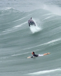 Great photo of a dolphin surfing with surfer - Beautiful ocean