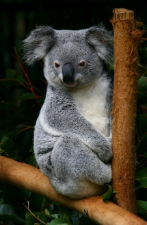 Koala Bear - Beautiful Animals