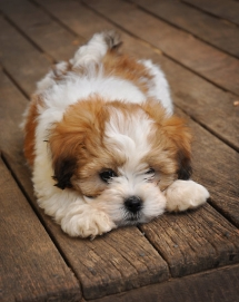 Lhasa Apso dog - Adorable Dog Pics