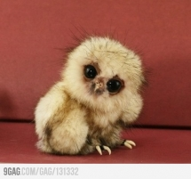 Little Baby Owl  - Animals