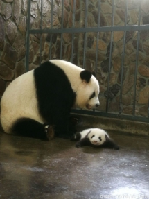 Mom Qi Yuan and her cute lovely baby - Panda