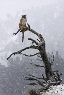 Mountain Lion perched in snowy tree [photo] - Animals