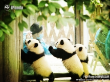 Nanny, we don't want to go to school, we liking stay at home - Panda