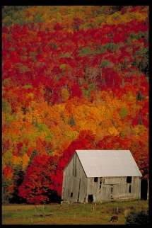 Old Barn with beautiful Fall colors - Barns