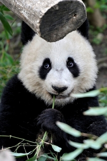 Panda - Beautiful Animals