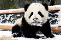 Panda cub in the snow - Beautiful Animals