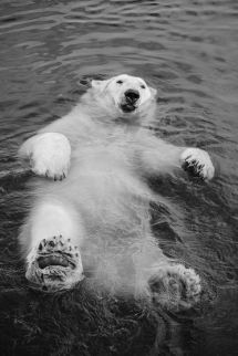 Polar Bear backstroke [photo] - Beautiful Animals