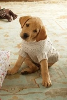 Puppy in a Sweater - Adorable Dog Pics