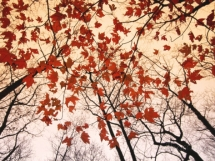 Red Maple and Autumn Sky - Art for home and cottage