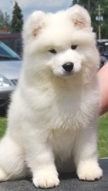Samoyed Puppy - Animals