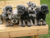 Schnauzer puppies - Adorable Dog Pics