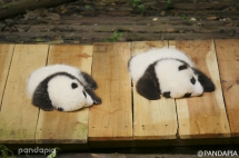 Show two pandas with you, one is S and the other is M.(Left is Qi Fu and right is Qi Yuan) - Panda