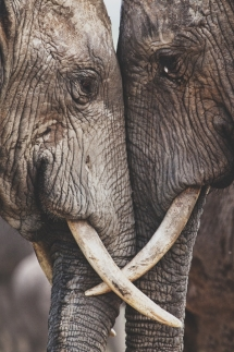 The Secret Wisdom of Elephants - Animals