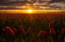 Tulip Sunrise by Candace Bartlett - Photography I love