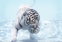 White Tiger - Beautiful Animals
