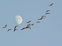 Wild Geese That Fly With The Moon on Their Wings - My Favourite Things