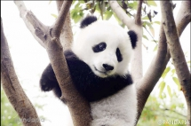 Woderful pandas' filtered photos - Panda