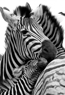 Zebras - Beautiful Animals