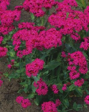 10 Perennials Easily Grown from Seed
