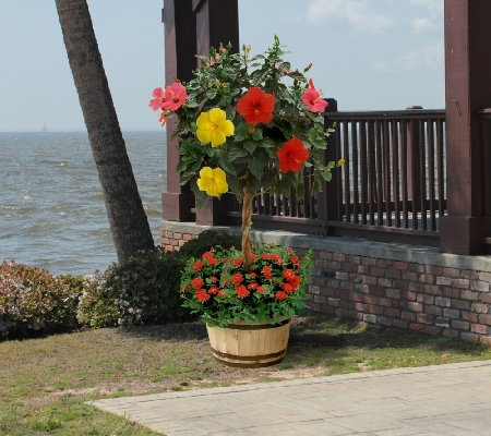 3 In 1 Braided Tropical Hibiscus Tree Favethingcom