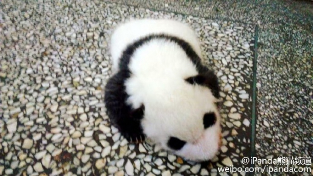 Baby panda Shu Fen is one and a half months old.
