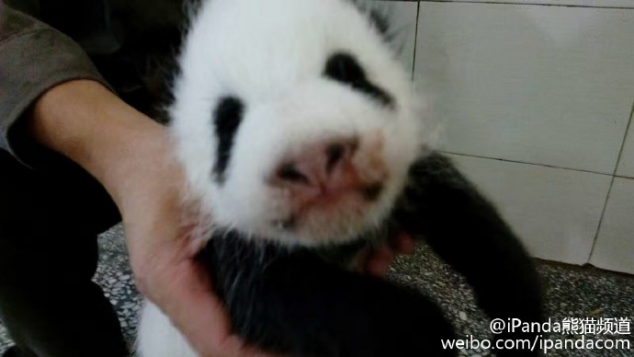 Baby panda Shu Fen is one and a half months old. - Image 3