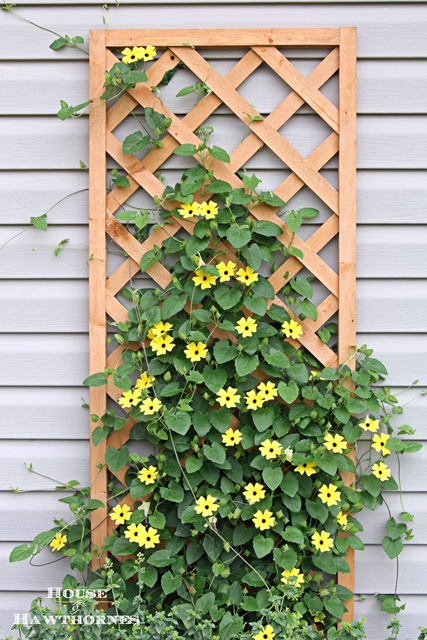 Back-Eyed Susan Vines