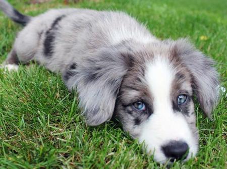 Red Border Collie Blue Eyes Blue Merle Border Collie Puppy