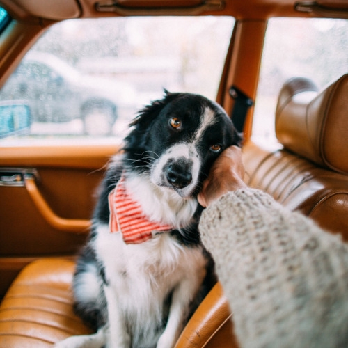 Border Collie in the car